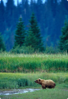 bear - Alaska