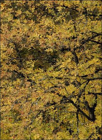 Autumn Collection - Canary Leaves