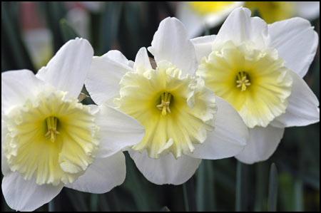 Daffodil Collection - Daffodil Times Three