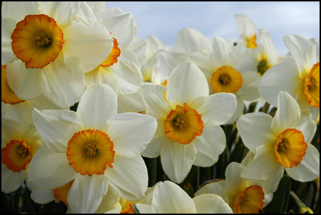 Daffodil Collection - Dizzy with Daffodils