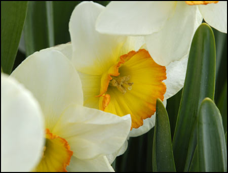 Daffodil Collection - Dil-licious