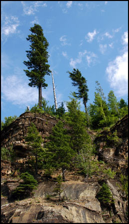 Glacier National Park Collection - Glacier Pines