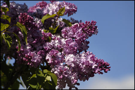 Lilac Collection - Lilacs Fill the Sky