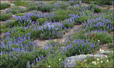 Mt. Rainier Collection - The Color of Purple