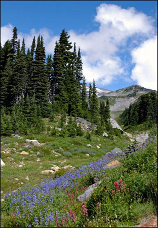 Mt. Rainier Collection - Violet Trail