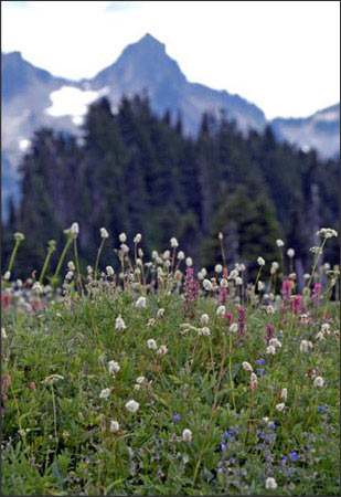 Mt. Rainier Collection - Wild Flowers