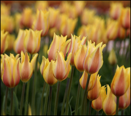 Tulip Collection - Reach for the Sky