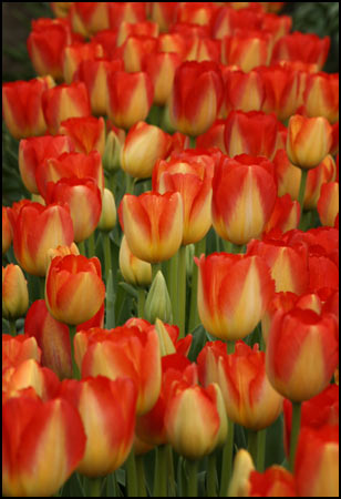 Tulip Collection - Tulips Galore