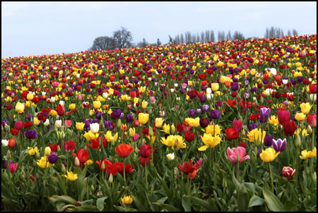 Tulip Field 2 Collection - Pick the Red One