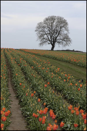 Tulip Field 2 Collection - Guardian Oak