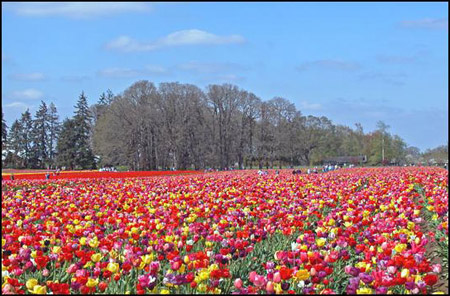 Tulip Fields 1 Collection - Oh My!