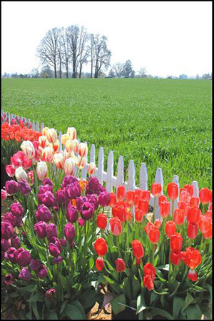 Tulip Fields 1 Collection - Picket Fence