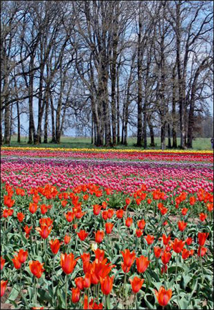 Tulip Fields 1 Collection - Color Under the Trees