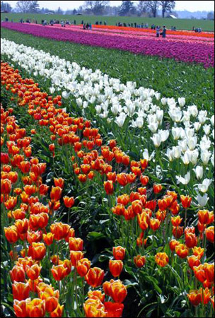 Tulip Fields 1 Collection - Row after Row