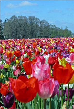 Tulip Fields 1 Collection - Bees Best Friend