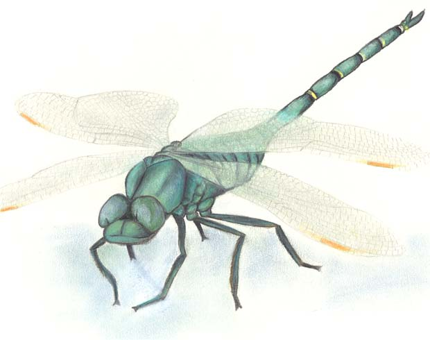 Iridescent Dragonfly